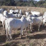 75 bovinos da raça Nelore e Girolando serão leiloados em Aquidauana